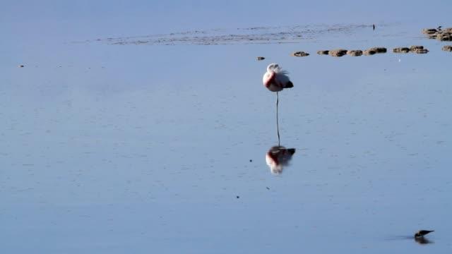 vidéos et rushes de flamants roses de atacama - lac salé