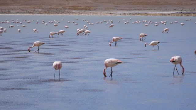 Flamingos in Bolivia Atacama Flamingos are looking for food in Atacama dessert wasser videos stock videos & royalty-free footage