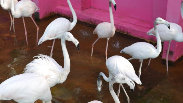 Flamingos in the Zoo video