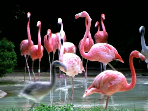 Flamingos Rushing Out of Water Colony of flamingos rushing out of shallow water. water bird stock videos & royalty-free footage