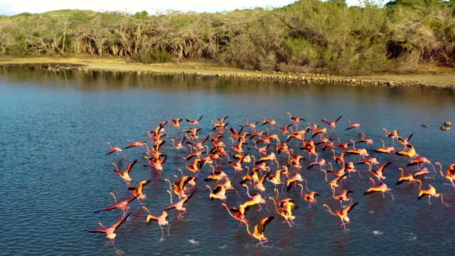 Flamingos Flamingos of Curacao curaçao stock videos & royalty-free footage