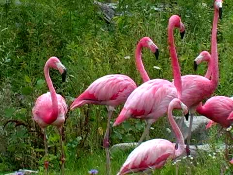 フラミンゴ - 水鳥点の映像素材/bロール