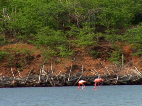 ntsc: fenicottero s - uccello acquatico video stock e b–roll