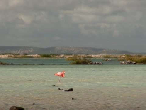 pal: fenicottero s - uccello acquatico video stock e b–roll