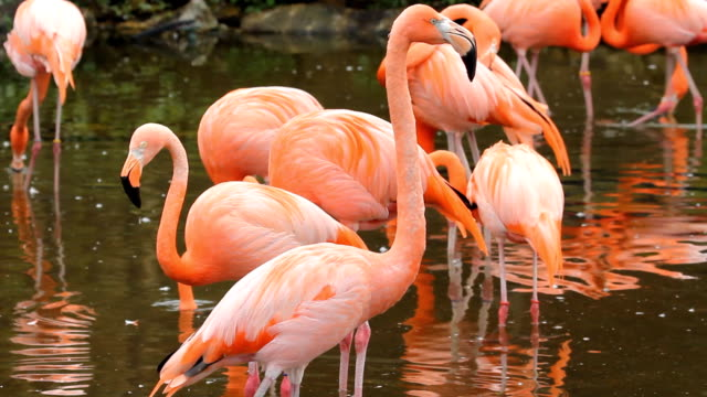 Flamingos. video