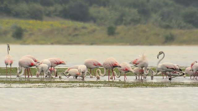 Flamnigos Flamingos animal markings stock videos & royalty-free footage