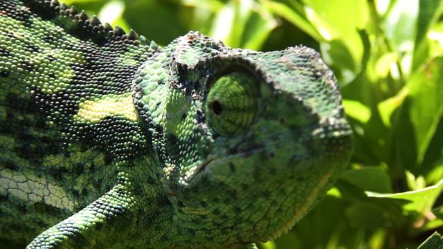 Flap necked Chameleon video