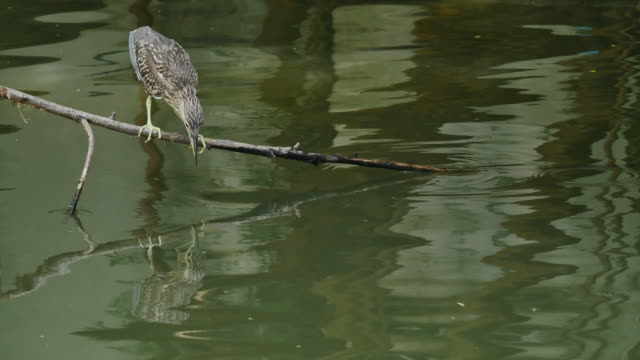 Flappy bird (Black-crowned night heron) Hunting its prey. video