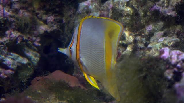 wohnung gestreifte falterfische schweben unter wasser gegen felsen. fullhd-video - ichthyologie stock-videos und b-roll-filmmaterial