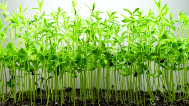 flax germination on light background - stelo video stock e b–roll