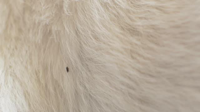 Flea on Breathing Animal Flea on the fur of a breathing animal. flea insect stock videos & royalty-free footage