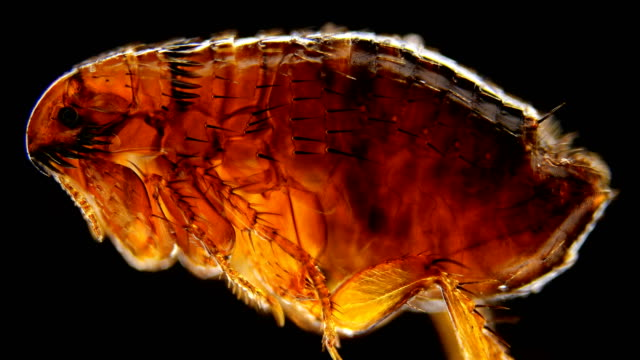 flea under the microscope, genus Ctenocephalides felis a flea under a microscope, the genus Ctenocephalides felis, a dangerous parasite of cats, dogs and humans, causes itching in the area of the bite 4K flea insect stock videos & royalty-free footage