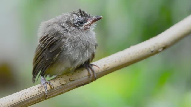 fledgling bulbul bird in nature. - уход за поверхностью тела у животных стоковые видео и кадры b-roll
