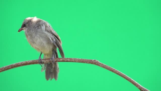 junge bulbul vogel, vorderansicht. - ast pflanzenbestandteil stock-videos und b-roll-filmmaterial
