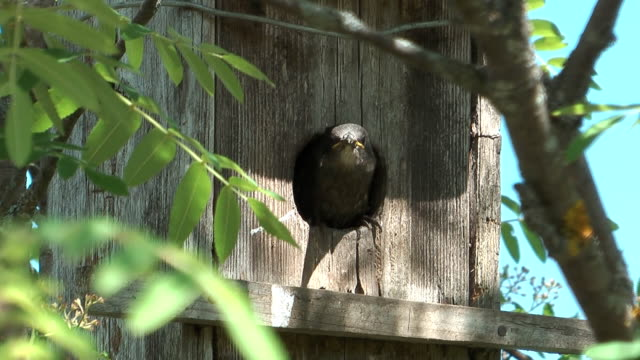 Fledgling starlings. video