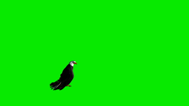 Fleeing Eagle Green Screen (Loopable) Design Element eagle bird stock videos & royalty-free footage