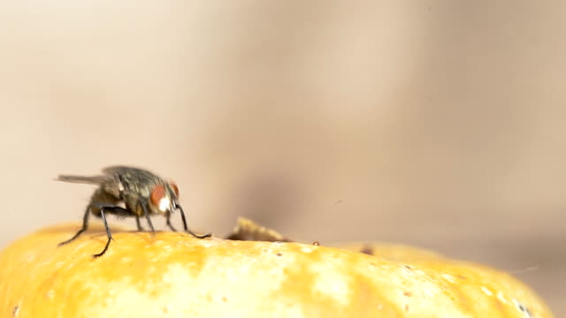 Flesh fly video