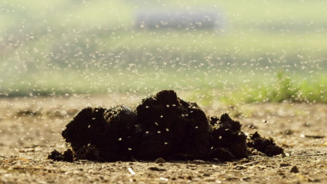 Flies and Gnats Swarm around a Pile of Horse Dung (Poop) on the Ground on a Sunny Day