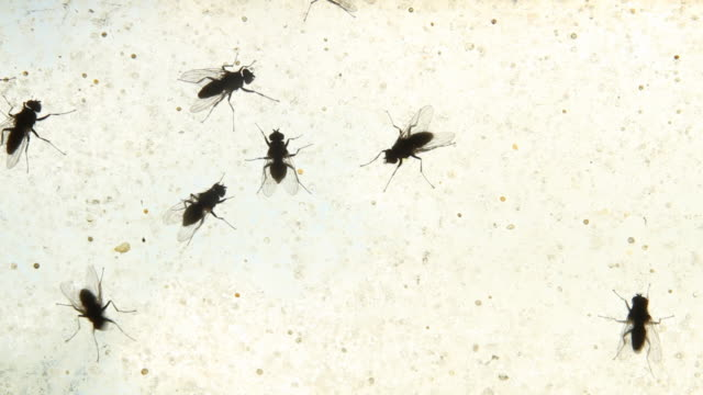 Flies (insects) walk on dirty window - loopable, HD, NTSC