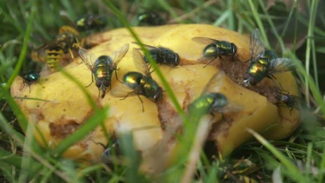 sinekler, eşekarısı, böcekler üzerinde çürük meyve beslenme - sinek stok videoları ve detay görüntü çekimi