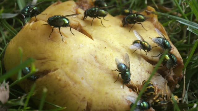 flies, wasps, insects feeding on rotten fruit