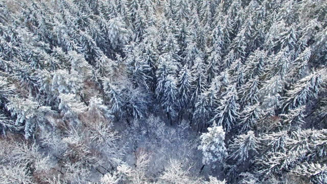 4K. Flight above light winter forest at snowfall on the north, aerial panoramic view video