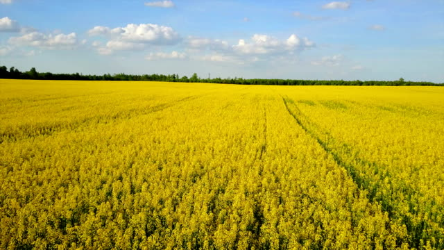 4k. flight and takeoff above blooming yellow rapeseed field in spring, aerial panoramic view at sunny day - canola video stock e b–roll