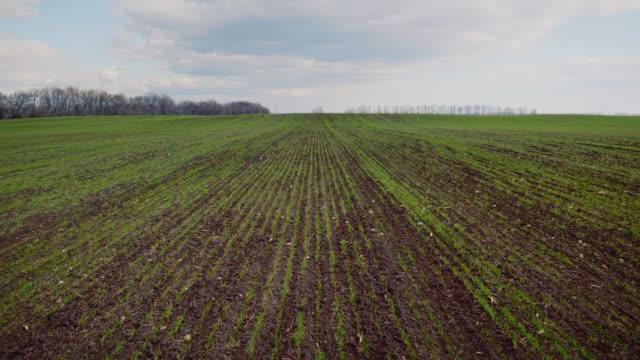 Flight low over the sown field of wheat in early spring video