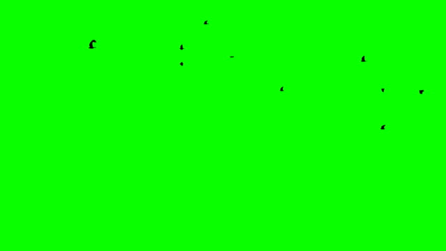Flight of a black raven crow on a green background Up and right flow of the crowd Chromakey footge Clear in and out of Black birds appearing