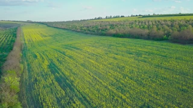 vídeos de stock e filmes b-roll de flight over a field of blooming rapeseed, yellow flowers are planted all over the field. - ambiente vegetal