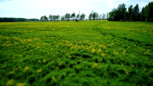Flight over a green field with yellow mustard flowers and trees video