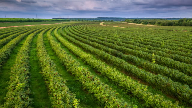 Flight over black currant plants -Aerial shot, Agriculture video