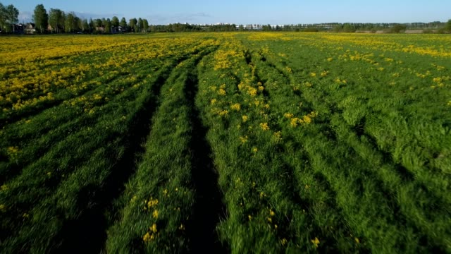 Flight over field with yellow flowers mustard video