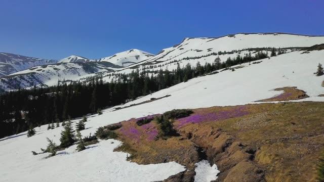 vidéos et rushes de vol au-dessus des crocus fleuris dans les montagnes - crocus