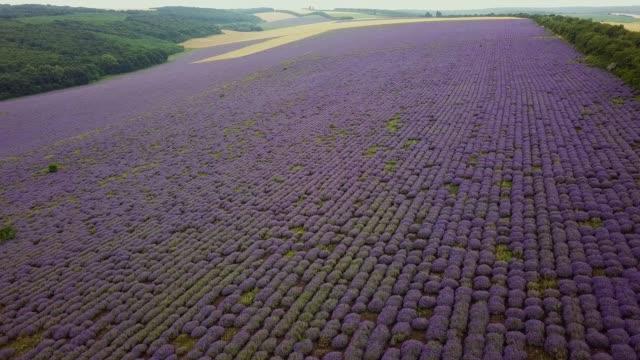 aerial 4k: flight over lavender field. sunset or sunrise aerial landscape of endless sunlit lavender fields. - молдавия стоковые видео и кадры b-roll