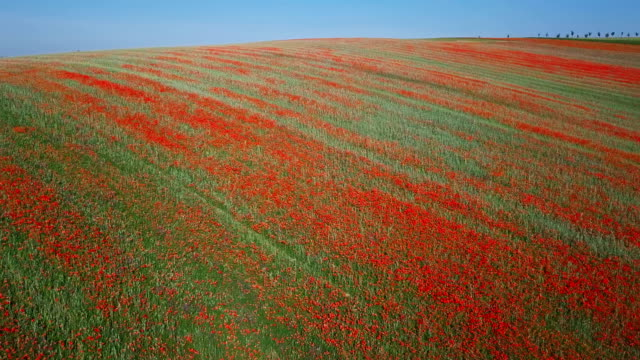 Flight over of blooming red poppy flowers fields in South Moravia hills, Czech Republic at spring.