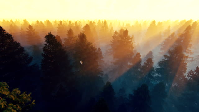 Flight over pine forest against beautiful sun rays, 4k