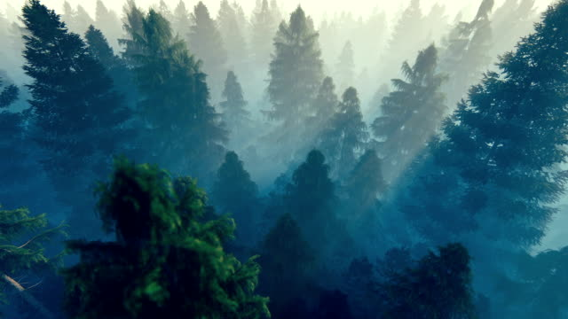 Flight over pine forest covered with morning fog, hd