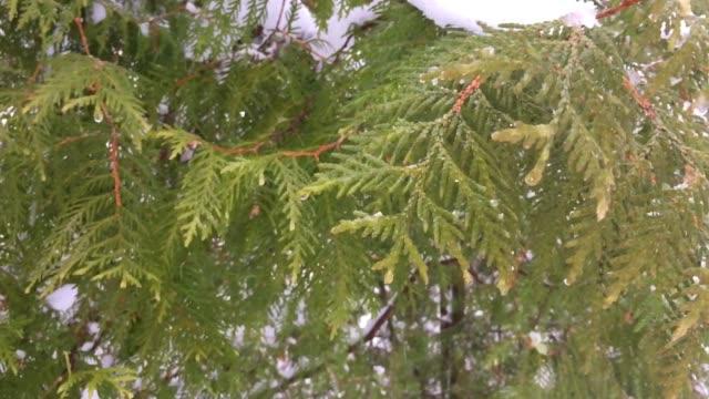 Flight over pine trees of the taiga winter.
