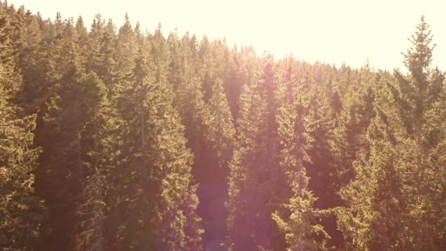 антенна полет над хвойный лес, купающийся в солнце - хвойное дерево стоковые видео и кадры b-roll