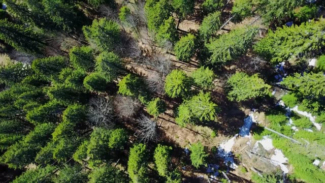 flight over the coniferous forest in the springtime