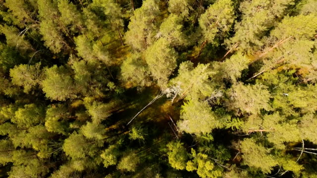 Flight over the green forest video