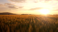 istock AERIAL: Flight over the wheat field at sunrise 483873821