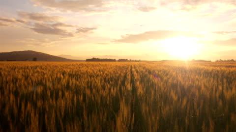 veduta aerea: volo sopra il campo di grano all'alba - composizione orizzontale video stock e b–roll