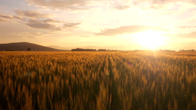 AERIAL: Flight over the wheat field at sunrise Flying over golden wheat field at sunset summer background stock videos & royalty-free footage