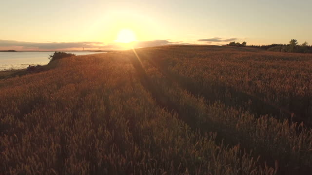 Flight over wheat field in the sunset video