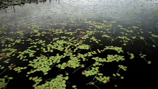 Floating by Lily Pads on Dark Lake video