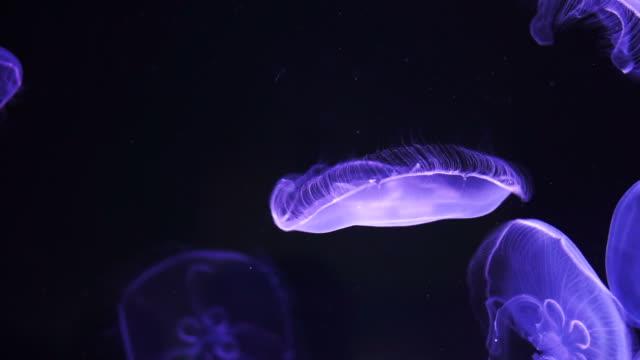floating Moon jellyfish (Aurelia aurita) in deep blue ocean video