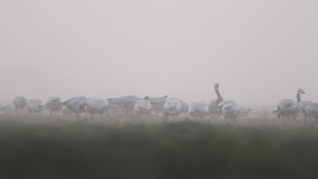 flock bar headed goose  gazing in misty morning - svasso video stock e b–roll
