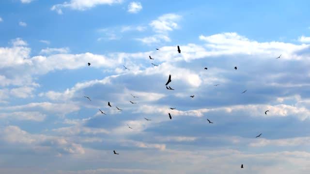 Flock of african Vultures circling , Botswana Africa wildlife